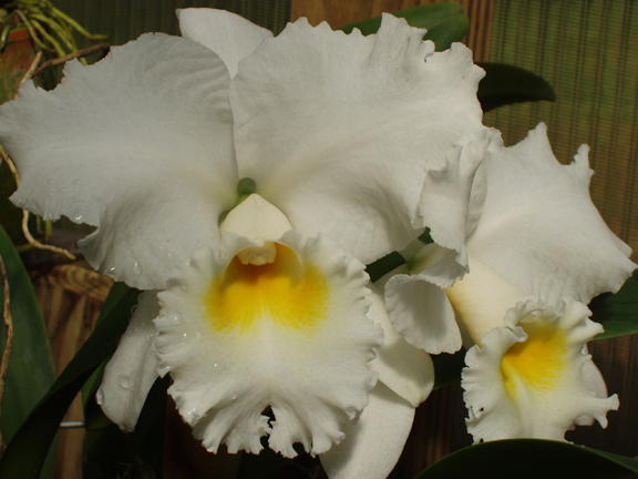 The Hackneaus Gallery Of Cattleya Orchid Hybrid Photos