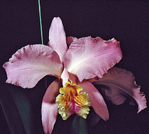 Cattleya-mossiae orchid species