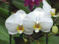 Phalaenopsis Pineapple Delight