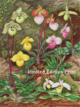 orchid art print of watercolor painting of the asian lady slippers parvisepalum paphiopedilum